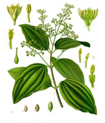 Cinnamomum verum, Franz Eugen Köhler, Köhler's Medizinal-Pflanzen via Wikimedia commons.