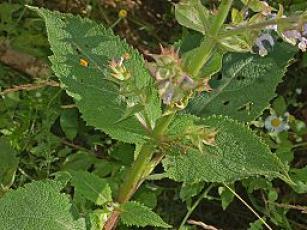 Lamiaceae - Salvia sclarea. Agata Fossili