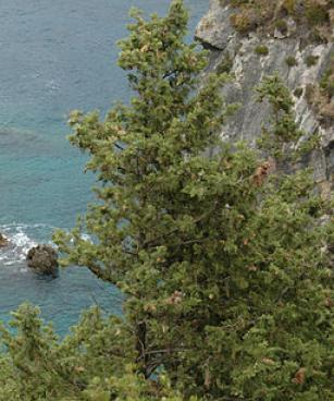 Cupressus sempervirens Corfu