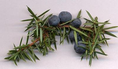 Juniperus communis cones