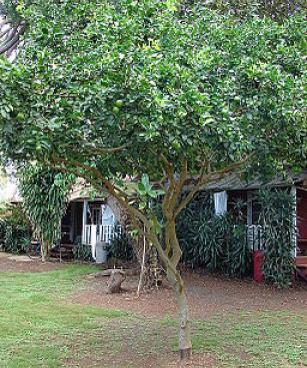 Starr Citrus aurantiifolia