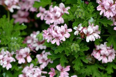 Pelargonium graveolens, Eric Hunt