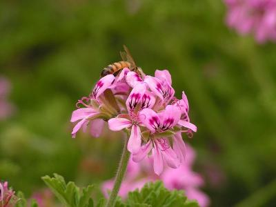 A bee on Pelargonium graveolens flower cluster, Aviyam