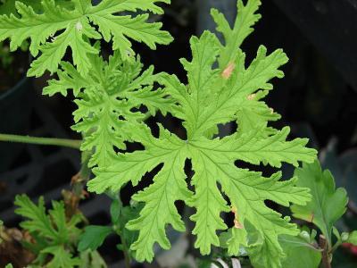 Pelargonium graveolens leaves, Maui