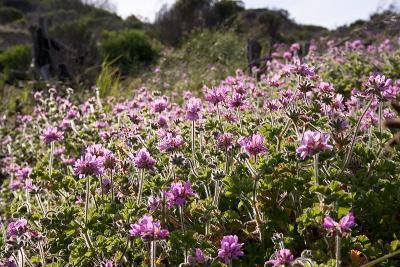 Pelargonium capitatum, Cape Town, Peter Baker