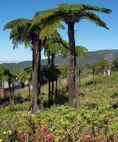 Cluster of Cyathea glauca in a geranium (Pelargonium graveolens) field at Grand-Coude (Saint-Joseph, Réunion), B.Navez