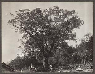 Cinnamomum camphora, Japan. AAE-00591