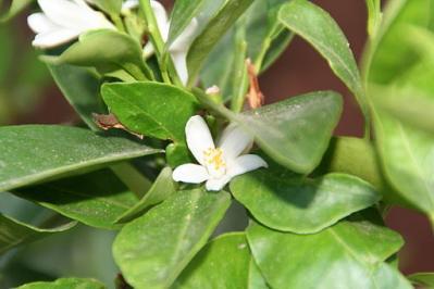 Mandarin flower
