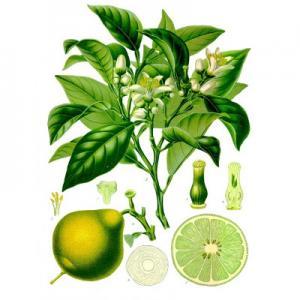 Citrus bergamia - Köhler–s Medizinal-Pflanzen-184