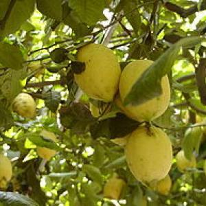 Sfusato Amalfitano 20070320