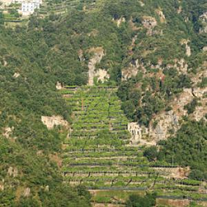 Lemon orchard Amalfi