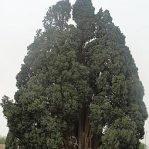 Cypress of Abarqu