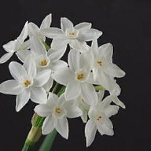 NarcissusPaperwhite01