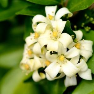 Murraya paniculata (orange jessamine) flowers