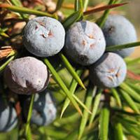 Juniperus communis communis Italy