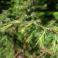 Juniperus communis MF