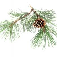 Pine branch and cone