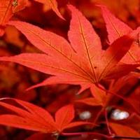 Maple leaves in October 2009
